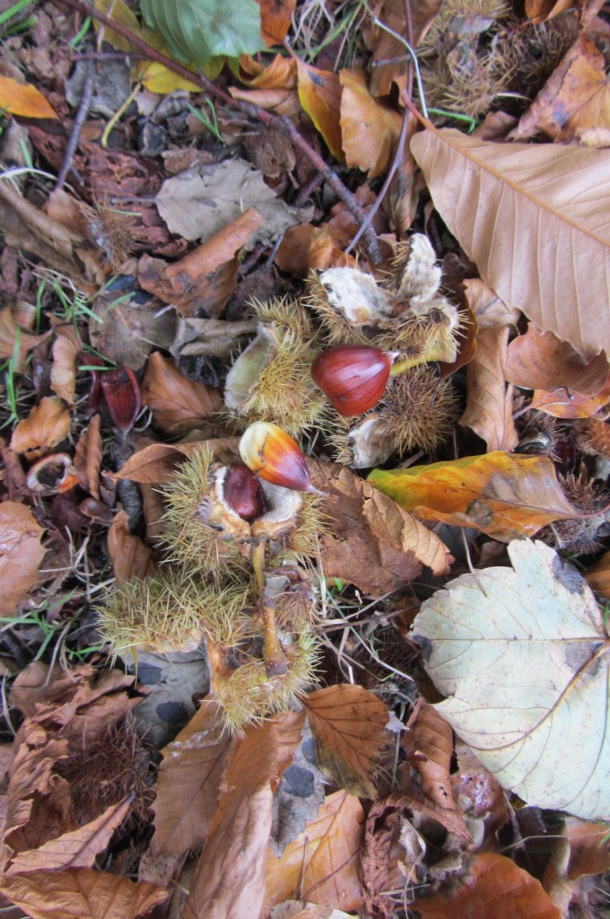 Rather small sweet chestnuts this year.