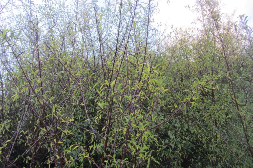 Fruitless sloeless blackthorn