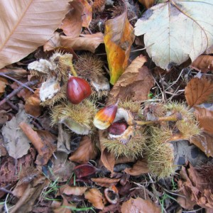 Spanish Chestnuts (and 1 conker) waiting for the squirrels and me.