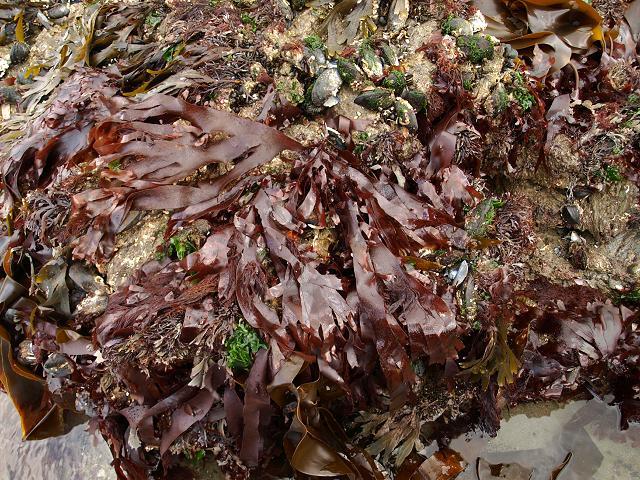 red_seaweed_palmaria_palmata_dulse_dillisk_crannach_00_09-09-10_1