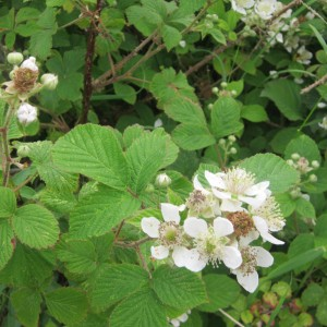 White bramble flowers