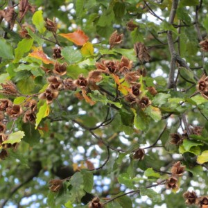 Beech nuts on the tree - hard to get into these