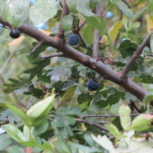 Sloes along the embankment near Central Station