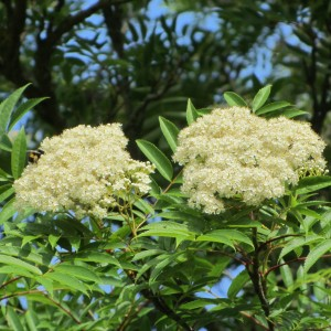 Rowan flowers and leaves