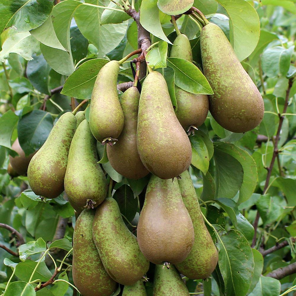 conference-pear-tree